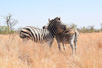 Zebra's in Kruger National Park, Zuid-Afrika van Elles van der Veen