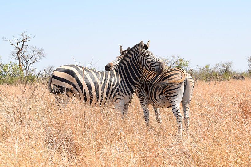 Zebras im Krüger-Nationalpark, Südafrika von Elles van der Veen