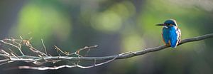 IJsvogel panorama