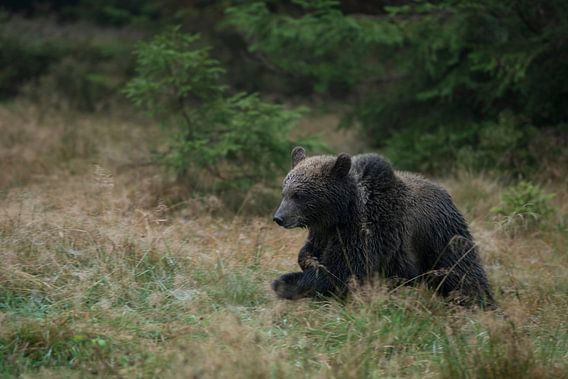 European Brown Bear *Ursus arctos*, funny cup running over a clearing