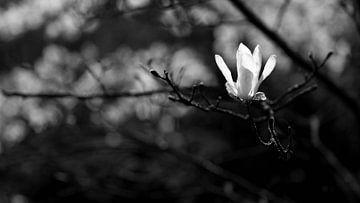 Weißer Magnolia von Gerda Hoogerwerf