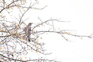 Koperwiek tussen de besjes in herfstsetting. van Francis Dost