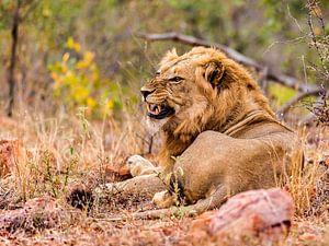 Leeuw, zoals een leeuw hoort te zijn.