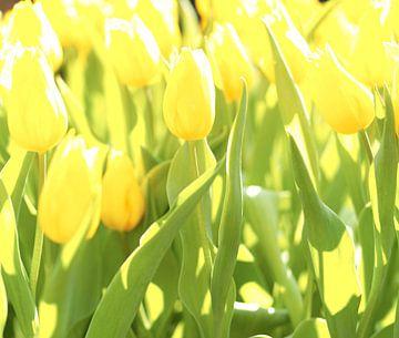 Gele tulpen in veld van Michael van Emde Boas