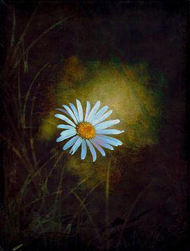 Margerite im Lichtschein von Roswitha Lorz