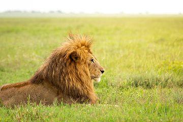 Der Löwe in der Serengeti von OCEANVOLTA