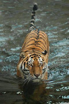 passt sich dem Wasser mit einem ruhigen, ausdrucksstarken Blick an. Ein junger, schöner Tiger mit au von Michael Semenov