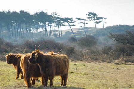 Grote grazers in Nationaal Park Kennemerland