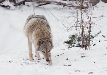 Une bête dangereuse qui chasse renifle ses proies. Femelle loup gris dans la neige, bel animal fort  sur Michael Semenov