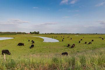 Waterbufels in de Biesbosch van Arie Jan van Termeij