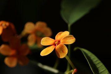Orangefarbene Blumen im Sonnenlicht von Pim van der Horst