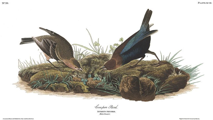 Bruinkopkoevogel van Birds of America