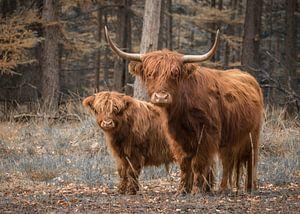 Schotse Hooglander met kalf