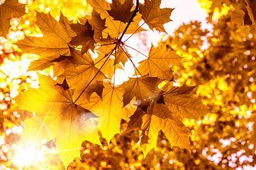 Sonne scheint auf Ahorn Blätter im Herbst von Dieter Walther