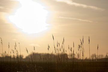 Riet in de zon van thomas van der Wijngaard