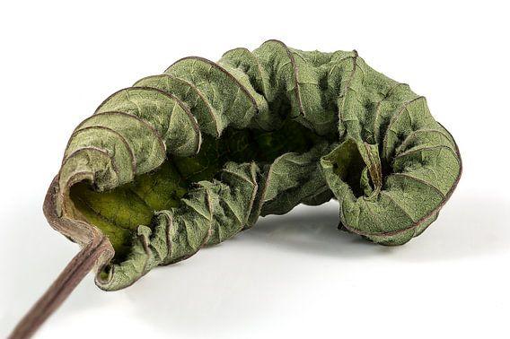 Verdroogd blad/Dry leaf