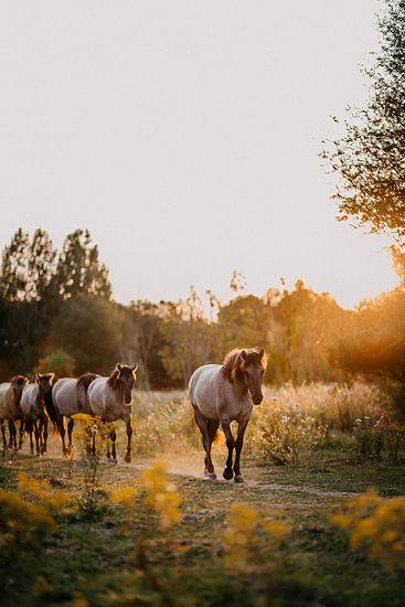 Kudde Konik paarden in natuurgebied tijdens zonsondergang