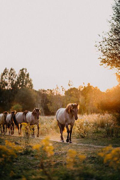 Kudde Konik paarden in natuurgebied tijdens zonsondergang van Yvette Baur