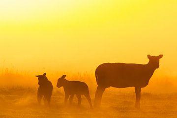 Schapen in ochtendlicht von Menno van Duijn