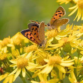 Vlinders   Kleine vuurvlinders op smalbladig kruiskruid van Servan Ott