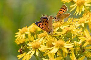 Vlinders   Kleine vuurvlinders op smalbladig kruiskruid