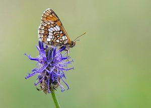 Alpenparelmoervlinder van