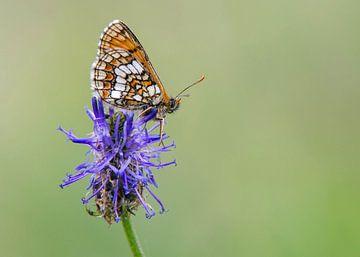 Alpenparelmoervlinder sur