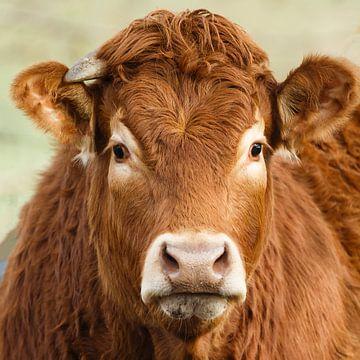 Portrait d'une vache limousine sur Menno Schaefer