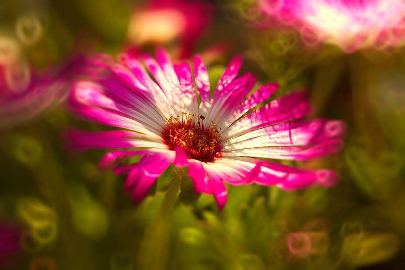 Sonnenanbeter pinkmagic van Dagmar Marina