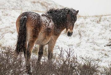Wildpferd im Schnee von Sanne Groen