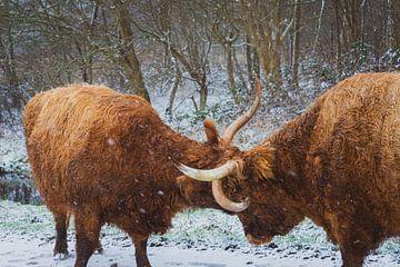 Vechtende Hooglanders van Amanda van den Berg / Fotografie Amanda