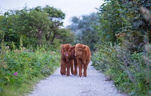 Twee jonge Schotse hooglander kalfjes in de duinen van Maurice Haak