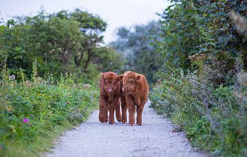 Deux jeunes veaux Highlander écossais dans les dunes sur Maurice Haak