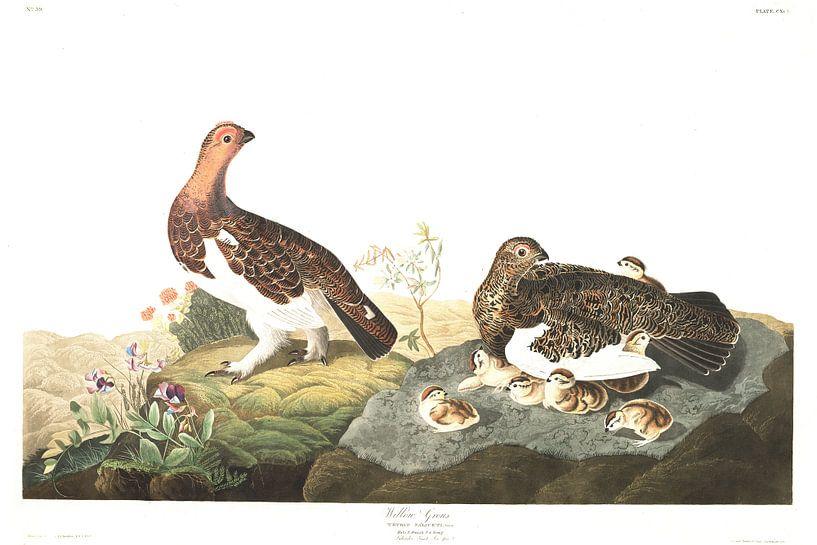 Moerassneeuwhoen van Birds of America