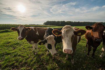 Nieuwsgierige roodbonte koeien in een weiland von Tonko Oosterink