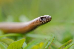 Slow Worm ( Anguis fragilis ) creeping through grass, raising its head