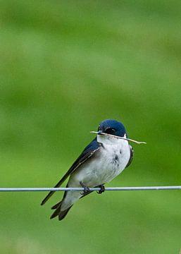 Blauw-witte zwaluw met takje van Brenda Gonzalez