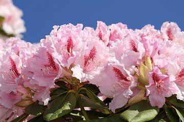 Roze rododendron van Anja Bagunk
