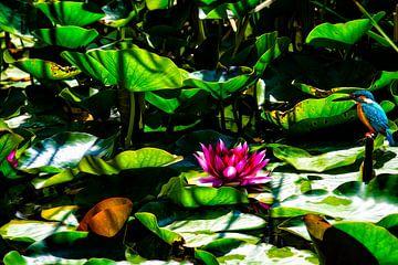 Martin-pêcheur à l'étang avec nénuphar rose -Jardin de rêve- sur ellenilli .
