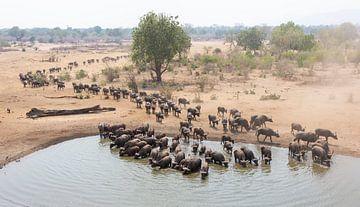 Große Herde von trinkenden Büffeln von Anja Brouwer Fotografie