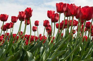 rode tulpen van dichtbij van Compuinfoto .