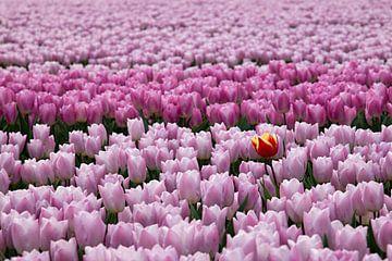 Rood gele tulp tussen rose paarse tulpen van