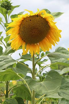 Gele zonnebloem van Eline Lohman
