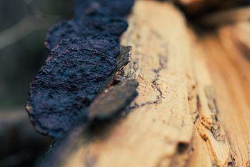 Platte Tonderzwammen op dood hout van JWB Fotografie