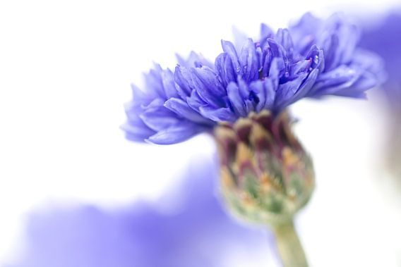 Blue Beauty..... (3)(bloem, blauw, macro) van Bob Daalder