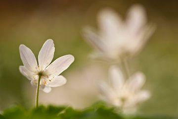 Flowering wood anemone sur