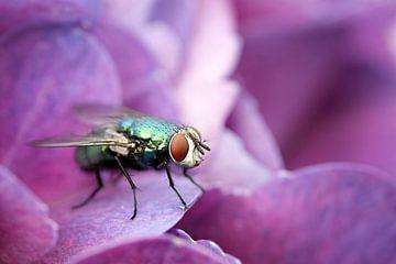 Vlieg op hortensia van Bob Bleeker