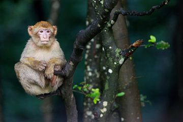 Berberaap (Macaca sylvanus) baby zittend op een boomtak van Nature in Stock