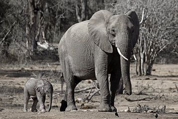 Elefant mit Kalb von Discover Dutch Nature