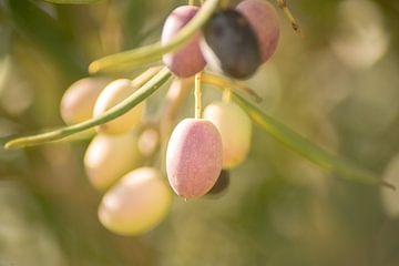 Olive am Baum von Stefanie de Boer
